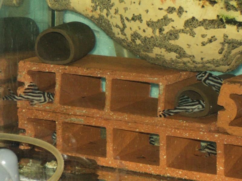 100 litres Hypancistrus Zebra L46 du RIO XINGU! - Page 2 Dsc06512