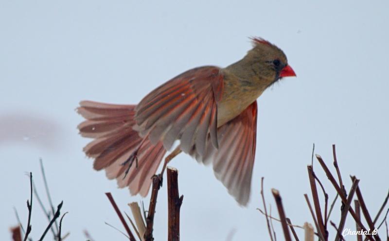 pas pour la qualité mais plus pour la pose femelle cardinal  110