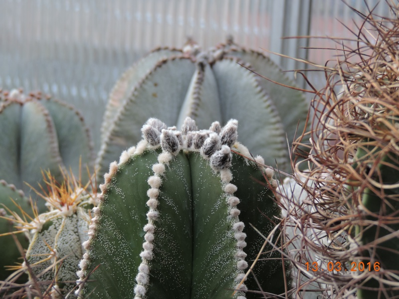 Cacti and Sukkulent in Köln, every day new flowers in the greenhouse Part 138 Bild_107