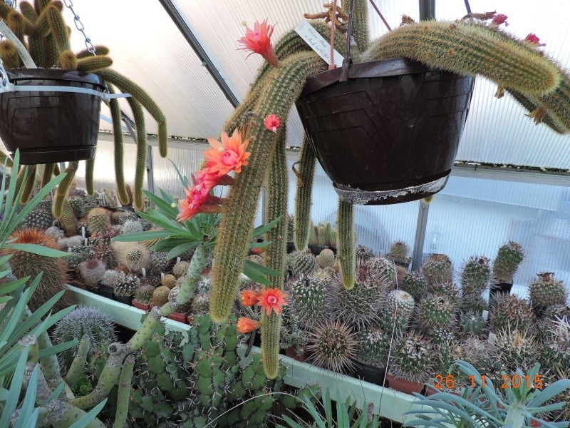 Cacti and Sukkulent in Köln, every day new flowers in the greenhouse Part 138 Bild_145