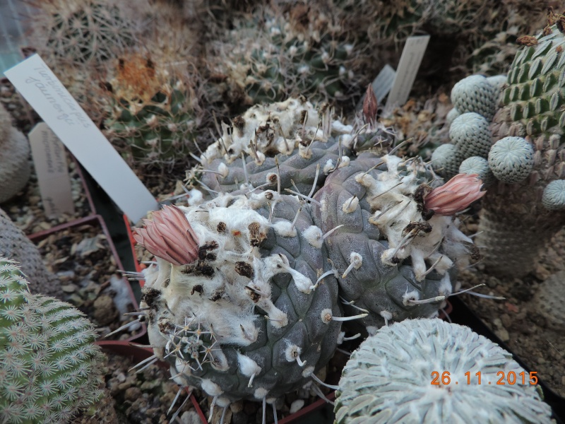 Cacti and Sukkulent in Köln, every day new flowers in the greenhouse Part 138 Bild_146