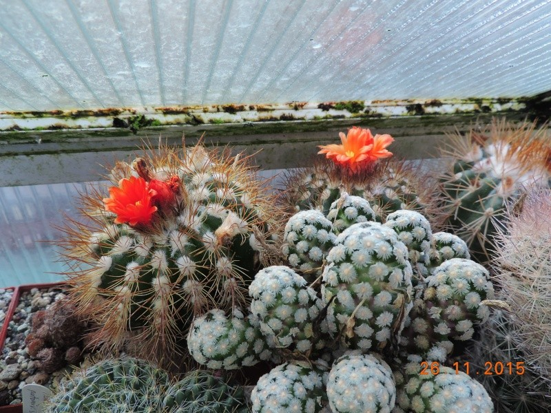 Cacti and Sukkulent in Köln, every day new flowers in the greenhouse Part 138 Bild_148