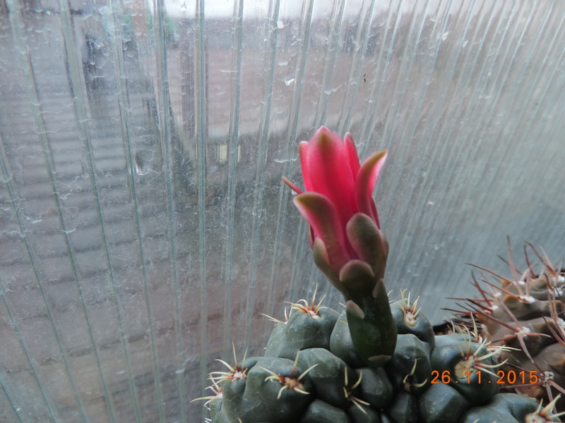 Cacti and Sukkulent in Köln, every day new flowers in the greenhouse Part 138 Bild_149
