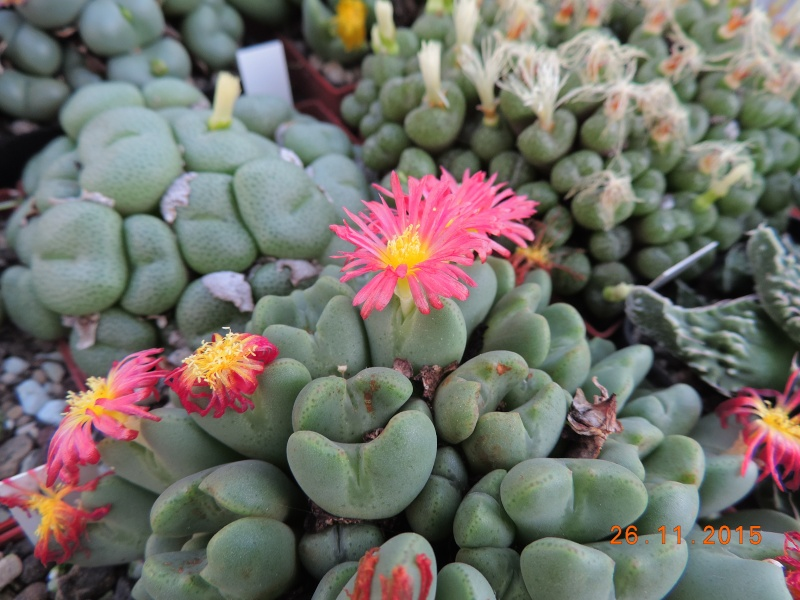 Cacti and Sukkulent in Köln, every day new flowers in the greenhouse Part 138 Bild_150