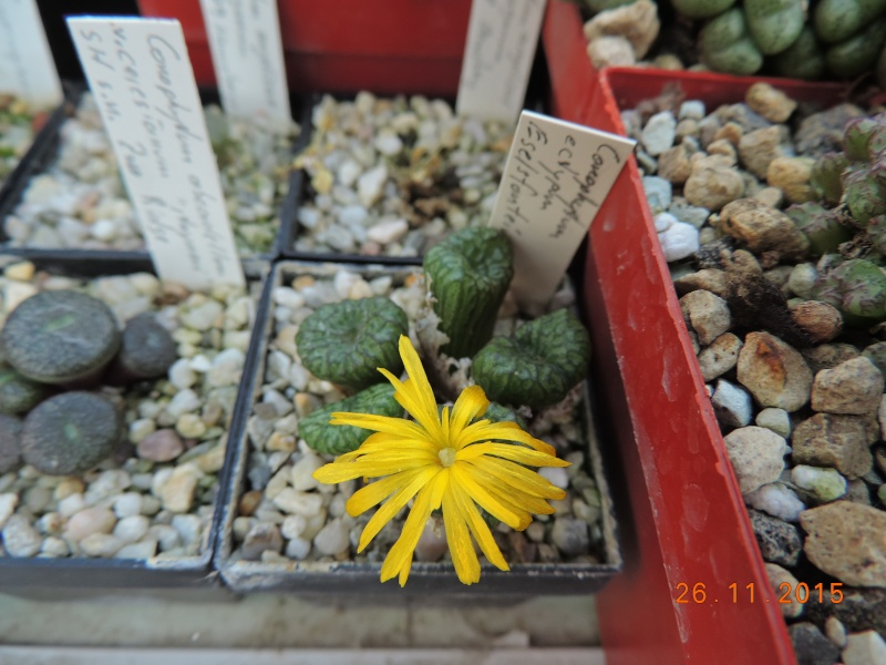Cacti and Sukkulent in Köln, every day new flowers in the greenhouse Part 138 Bild_155
