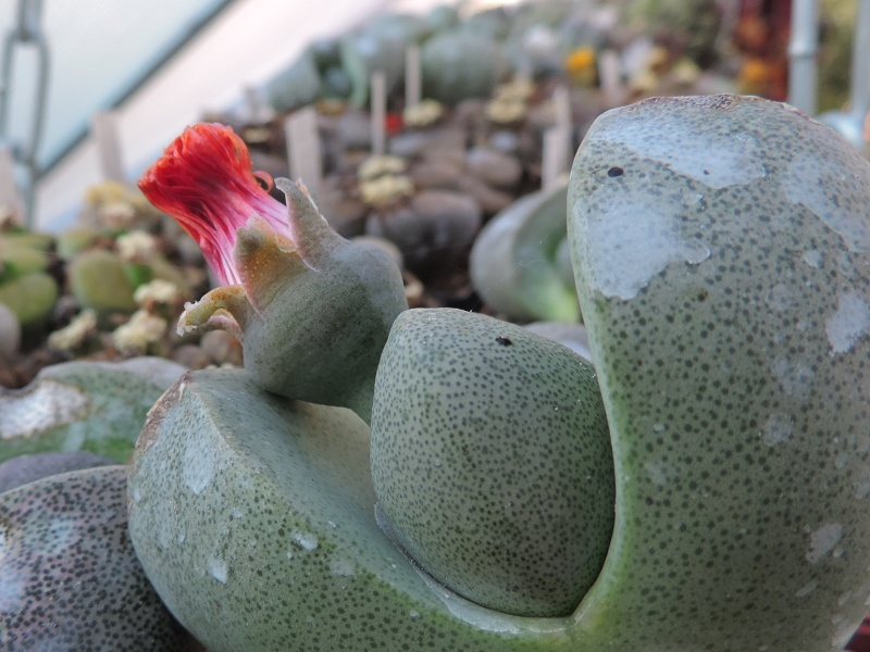 Cacti and Sukkulent in Köln, every day new flowers in the greenhouse Part 138 Bild_156