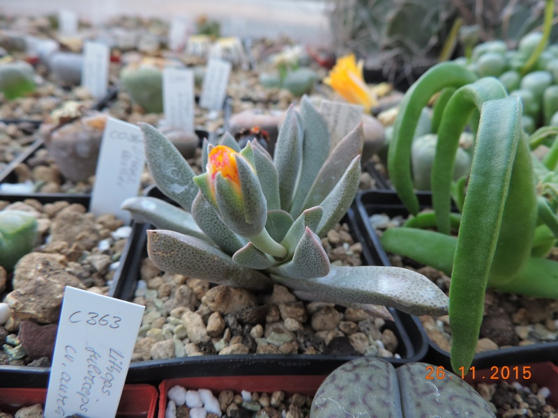 Cacti and Sukkulent in Köln, every day new flowers in the greenhouse Part 138 Bild_157
