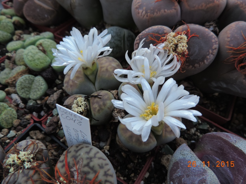 Cacti and Sukkulent in Köln, every day new flowers in the greenhouse Part 138 Bild_159