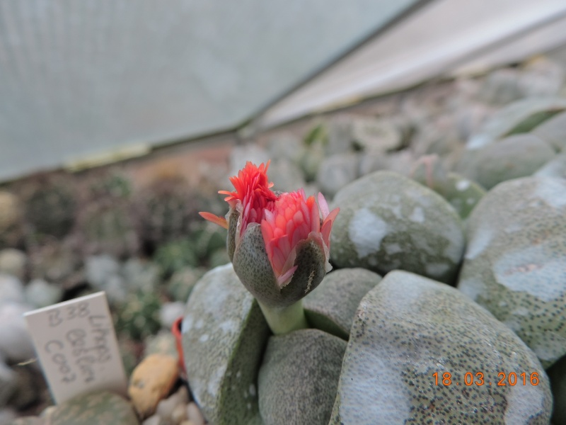 Cacti and Sukkulent in Köln, every day new flowers in the greenhouse Part 138 Bild_242