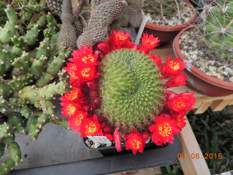 Cacti and Sukkulent in Köln, every day new flowers in the greenhouse Part 139 Bild_917