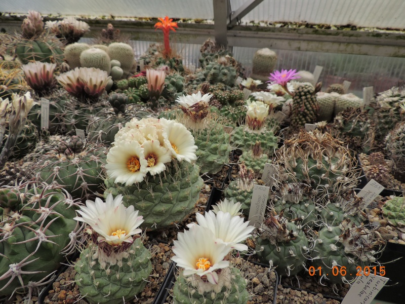 Cacti and Sukkulent in Köln, every day new flowers in the greenhouse Part 139 Bild_919