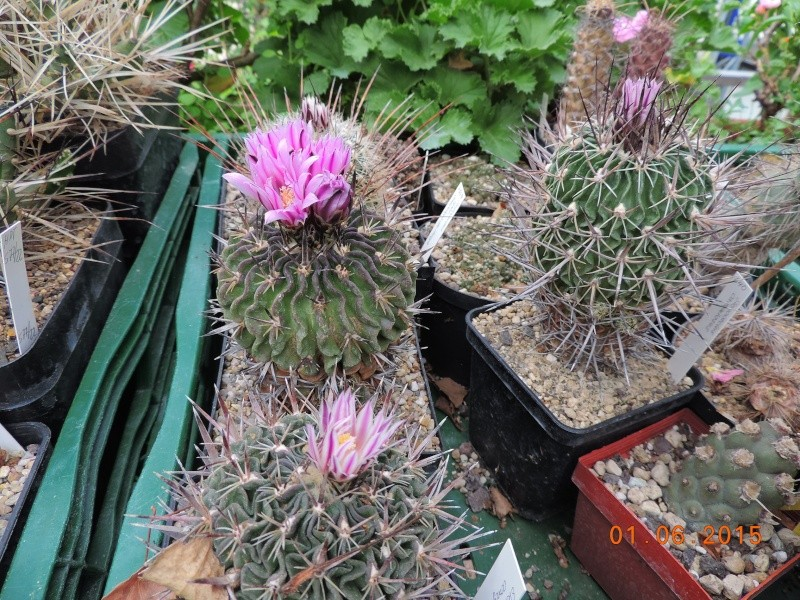 Cacti and Sukkulent in Köln, every day new flowers in the greenhouse Part 139 Bild_921