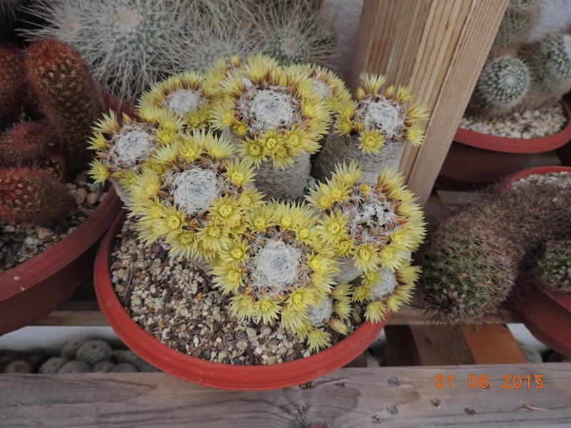 Cacti and Sukkulent in Köln, every day new flowers in the greenhouse Part 139 Bild_923