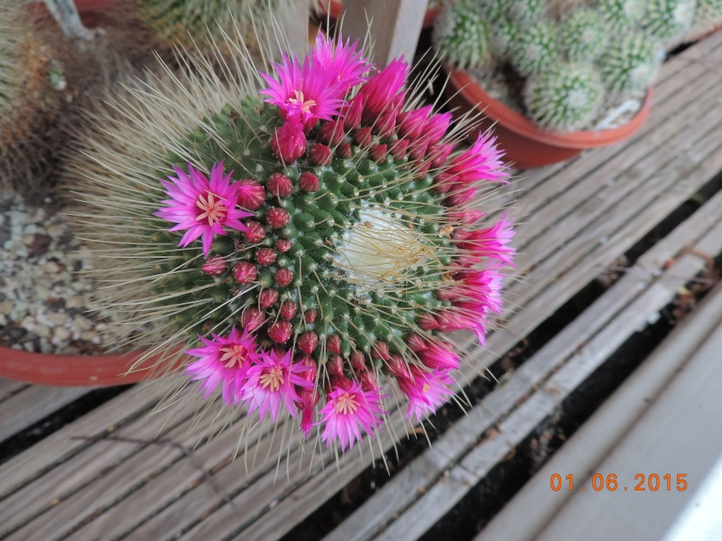 Cacti and Sukkulent in Köln, every day new flowers in the greenhouse Part 139 Bild_924