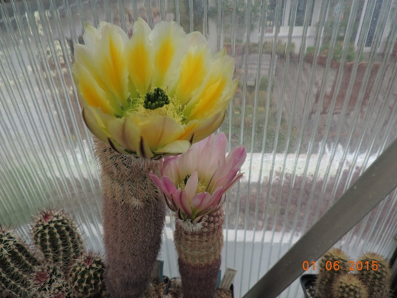 Cacti and Sukkulent in Köln, every day new flowers in the greenhouse Part 139 Bild_928