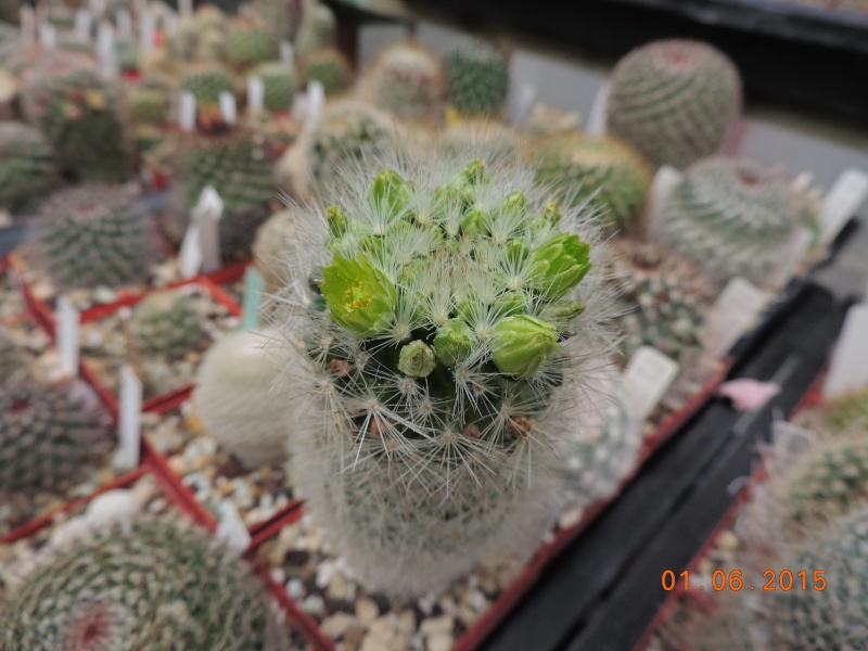 Cacti and Sukkulent in Köln, every day new flowers in the greenhouse Part 139 Bild_929