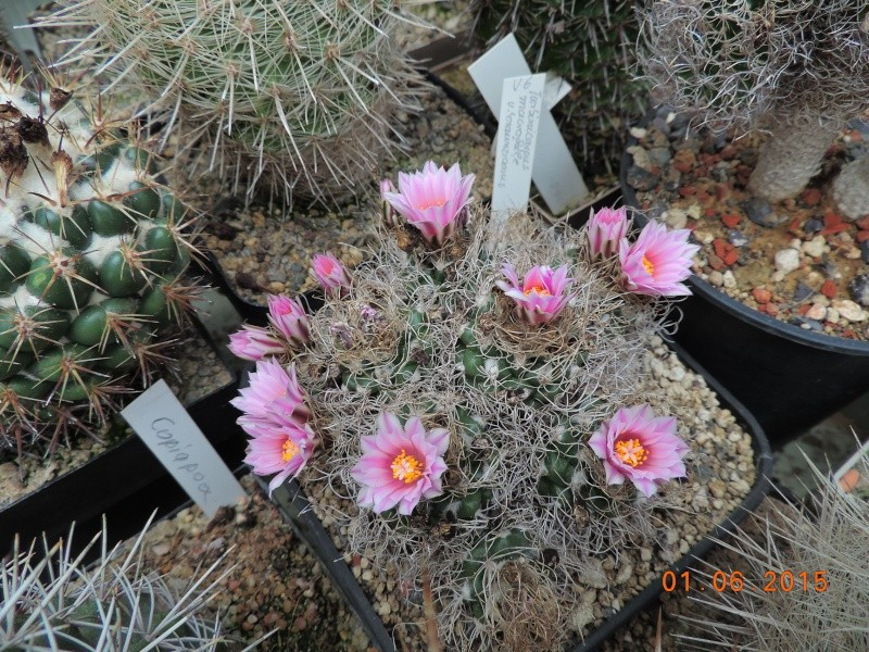 Cacti and Sukkulent in Köln, every day new flowers in the greenhouse Part 139 Bild_931