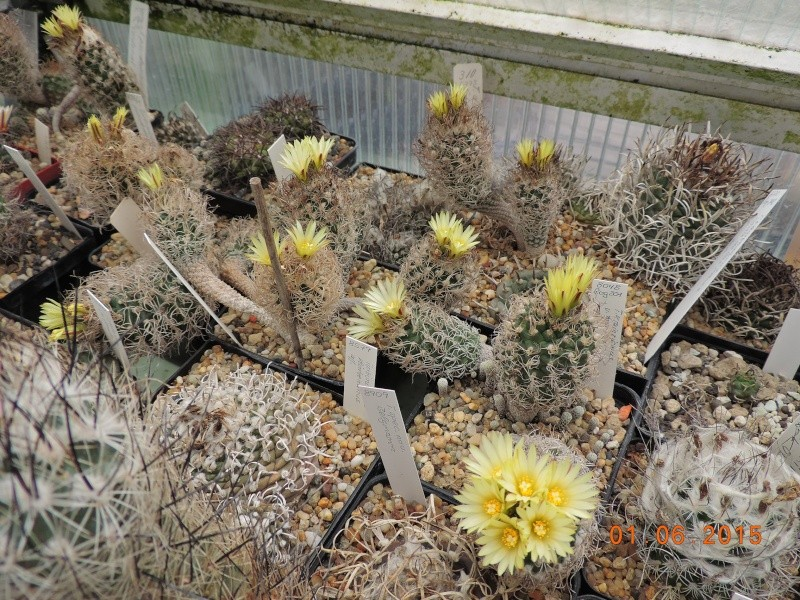 Cacti and Sukkulent in Köln, every day new flowers in the greenhouse Part 139 Bild_932