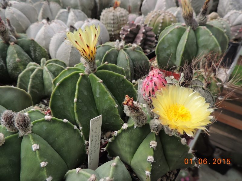 Cacti and Sukkulent in Köln, every day new flowers in the greenhouse Part 139 Bild_935