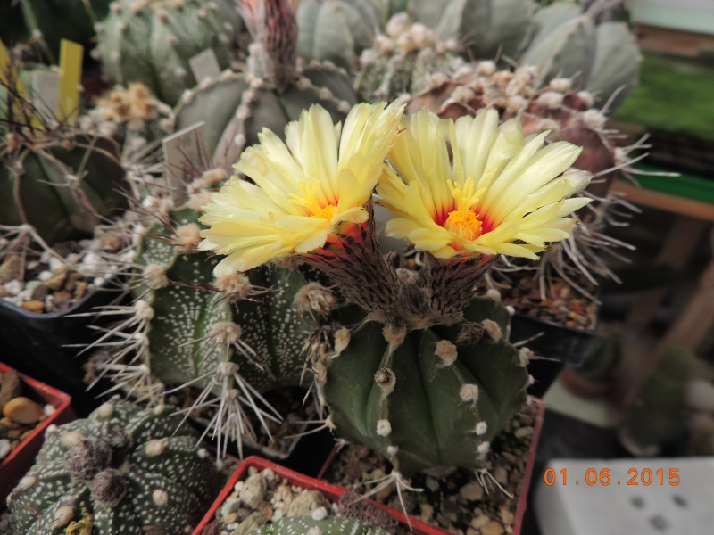 Cacti and Sukkulent in Köln, every day new flowers in the greenhouse Part 139 Bild_936