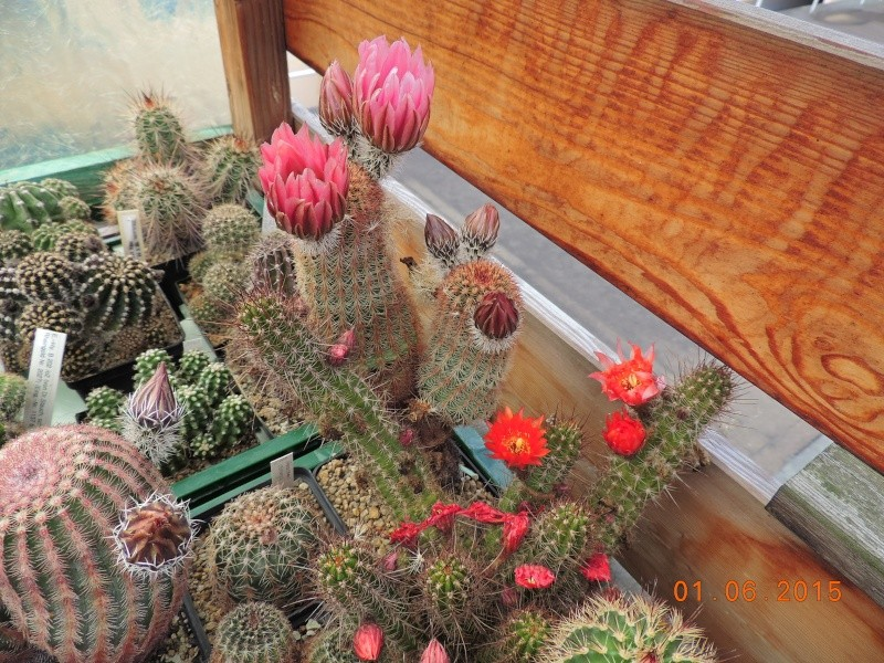 Cacti and Sukkulent in Köln, every day new flowers in the greenhouse Part 139 Bild_938