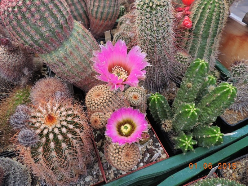 Cacti and Sukkulent in Köln, every day new flowers in the greenhouse Part 139 Bild_939