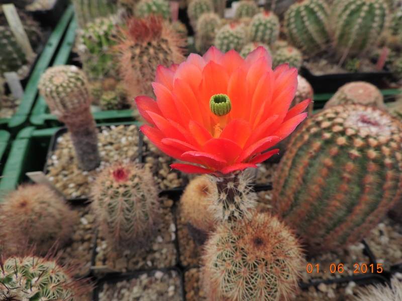 Cacti and Sukkulent in Köln, every day new flowers in the greenhouse Part 139 Bild_940