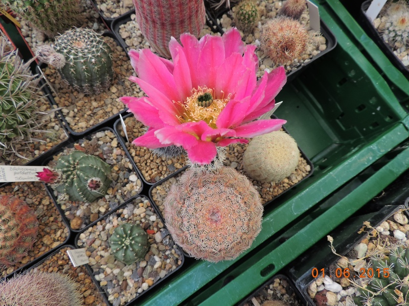 Cacti and Sukkulent in Köln, every day new flowers in the greenhouse Part 139 Bild_941