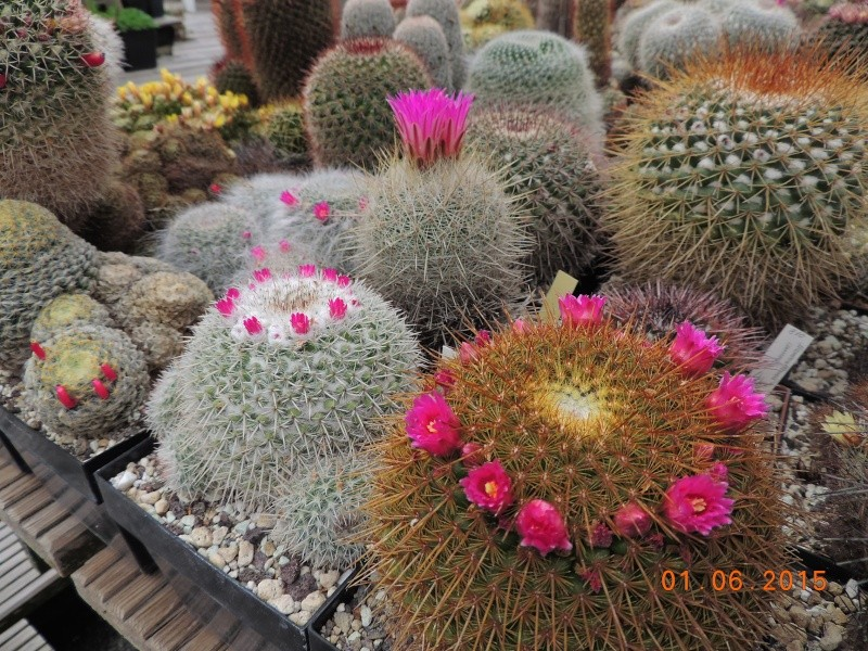 Cacti and Sukkulent in Köln, every day new flowers in the greenhouse Part 139 Bild_943