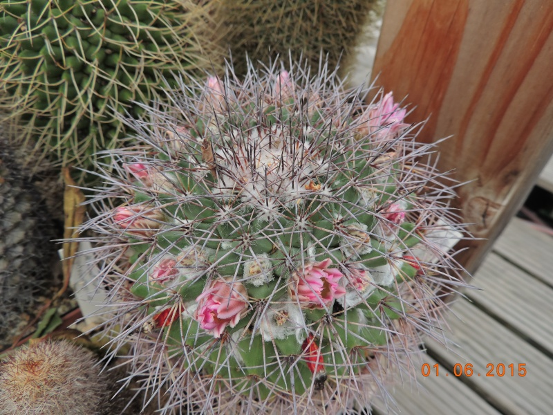 Cacti and Sukkulent in Köln, every day new flowers in the greenhouse Part 139 Bild_944