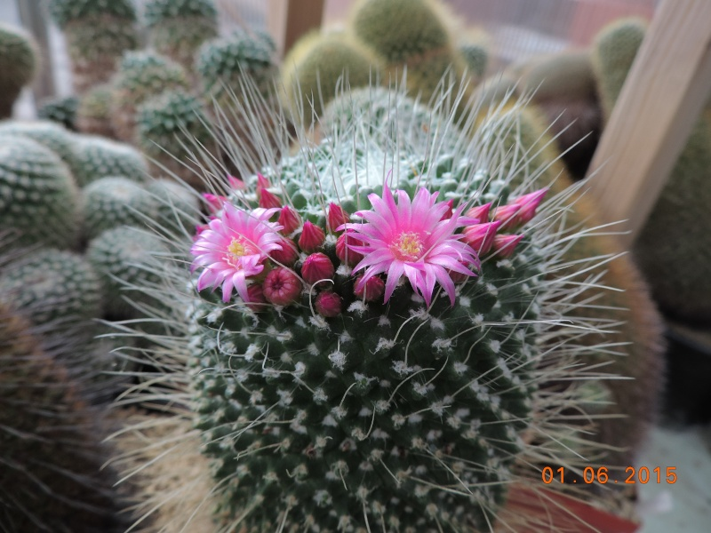 Cacti and Sukkulent in Köln, every day new flowers in the greenhouse Part 139 Bild_948