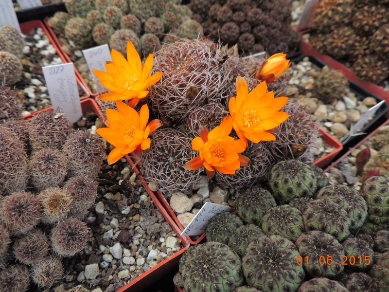Cacti and Sukkulent in Köln, every day new flowers in the greenhouse Part 139 Bild_953