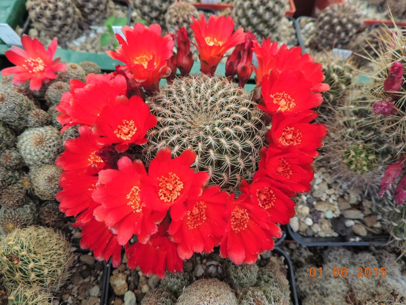 Cacti and Sukkulent in Köln, every day new flowers in the greenhouse Part 139 Bild_955