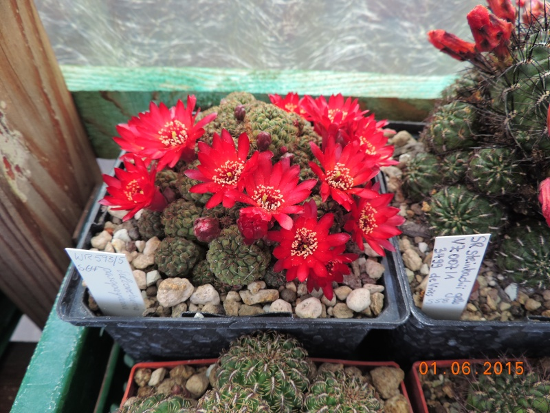 Cacti and Sukkulent in Köln, every day new flowers in the greenhouse Part 139 Bild_956