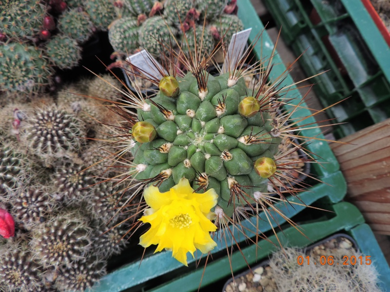 Cacti and Sukkulent in Köln, every day new flowers in the greenhouse Part 139 Bild_958