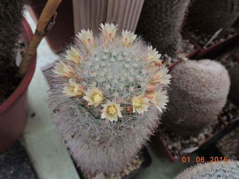 Cacti and Sukkulent in Köln, every day new flowers in the greenhouse Part 139 Bild_962