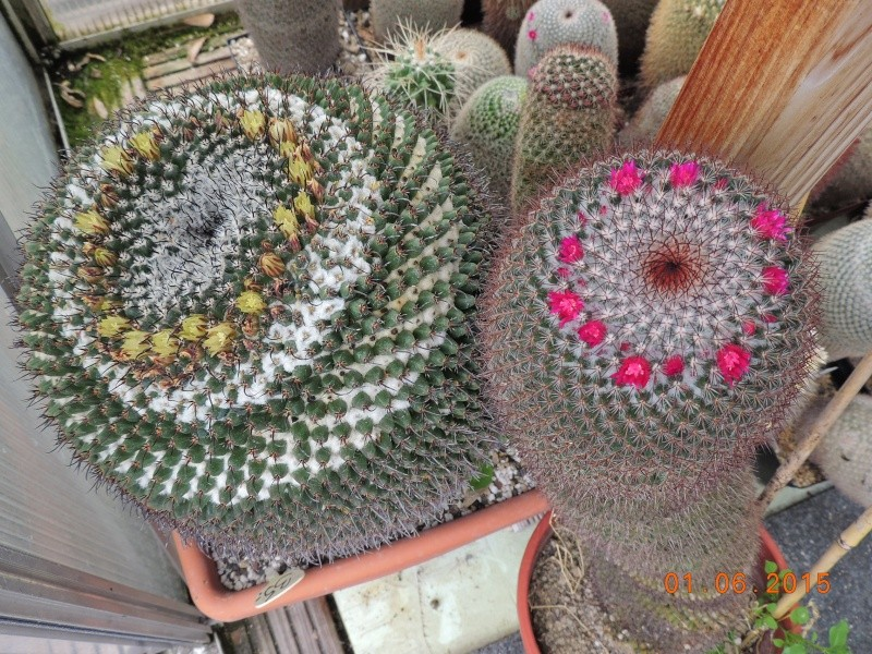 Cacti and Sukkulent in Köln, every day new flowers in the greenhouse Part 139 Bild_963