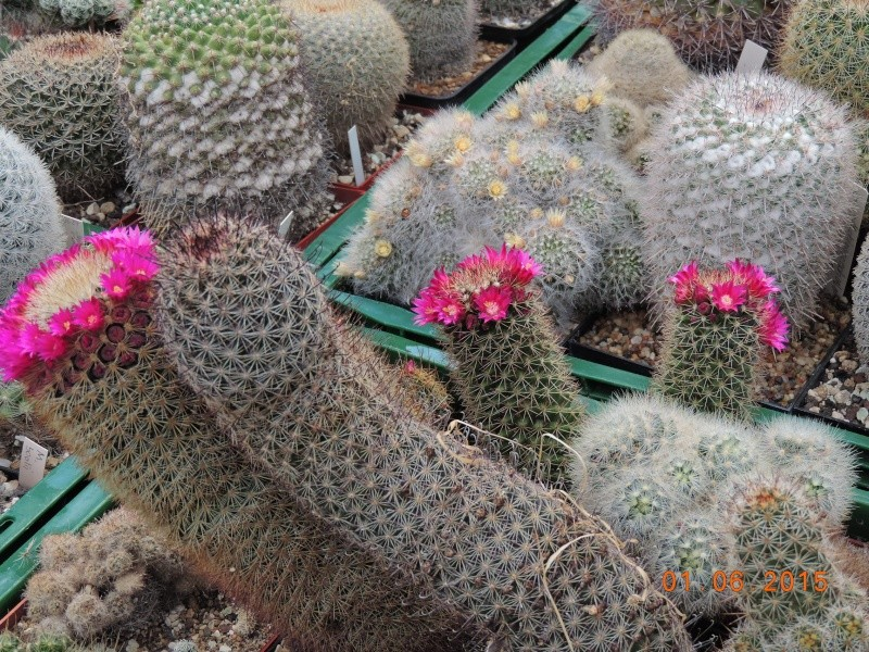 Cacti and Sukkulent in Köln, every day new flowers in the greenhouse Part 139 Bild_964