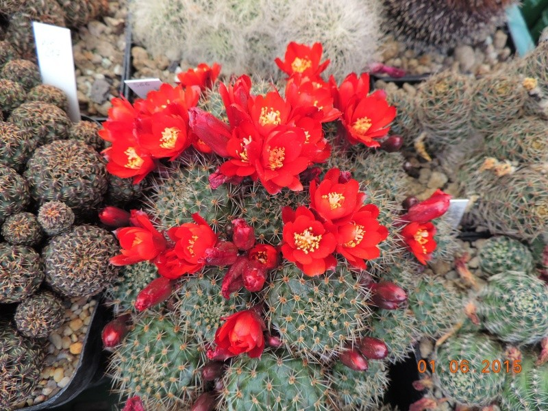 Cacti and Sukkulent in Köln, every day new flowers in the greenhouse Part 139 Bild_969
