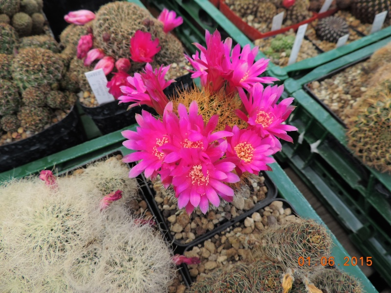 Cacti and Sukkulent in Köln, every day new flowers in the greenhouse Part 139 Bild_970
