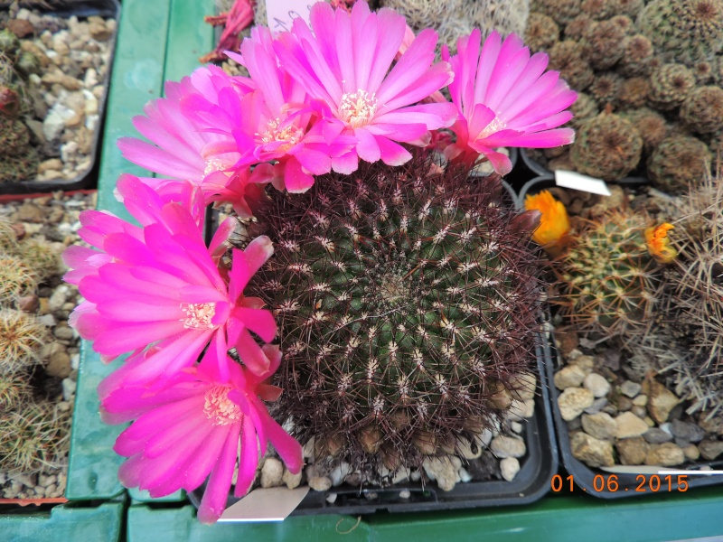 Cacti and Sukkulent in Köln, every day new flowers in the greenhouse Part 139 Bild_971