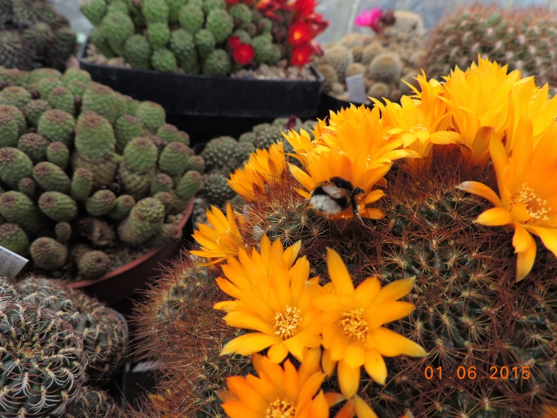 Cacti and Sukkulent in Köln, every day new flowers in the greenhouse Part 139 Bild_973