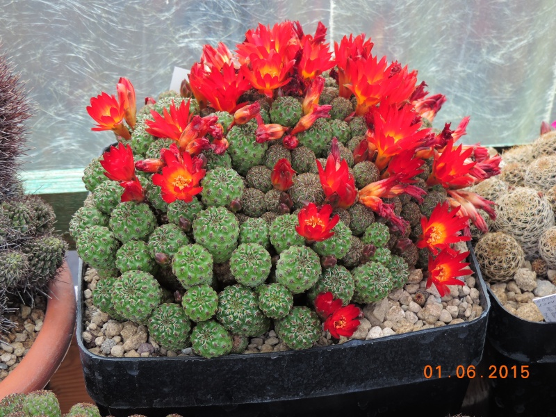 Cacti and Sukkulent in Köln, every day new flowers in the greenhouse Part 139 Bild_974