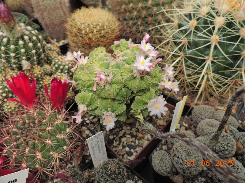 Cacti and Sukkulent in Köln, every day new flowers in the greenhouse Part 139 Bild_976