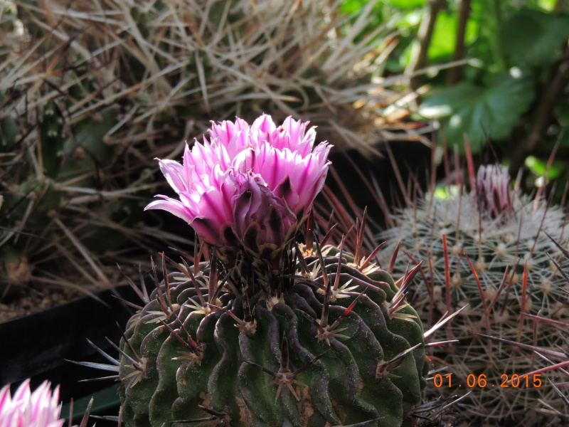 Cacti and Sukkulent in Köln, every day new flowers in the greenhouse Part 139 Bild_984