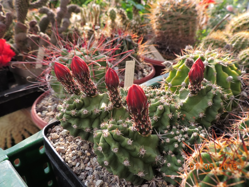 Cacti and Sukkulent in Köln, every day new flowers in the greenhouse Part 139 Bild_985