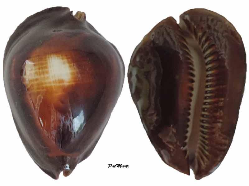 Zoila rosselli latistoma - Lorenz, 2002 - Page 2 Cyp-ro10