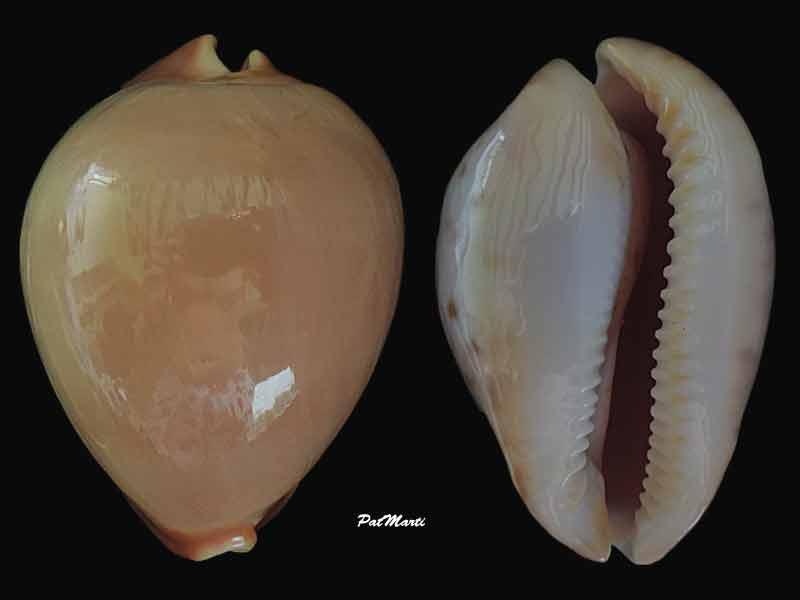 Zoila venusta roseoimmaculata - Raybaudi, 1985 - Page 2 Cyp-ve10