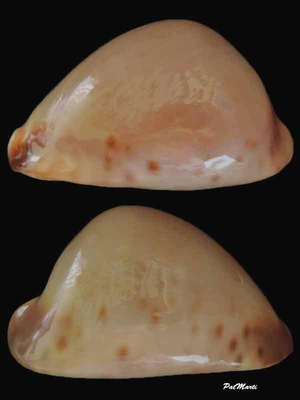 Zoila venusta roseoimmaculata - Raybaudi, 1985 - Page 2 Cyp-ve11