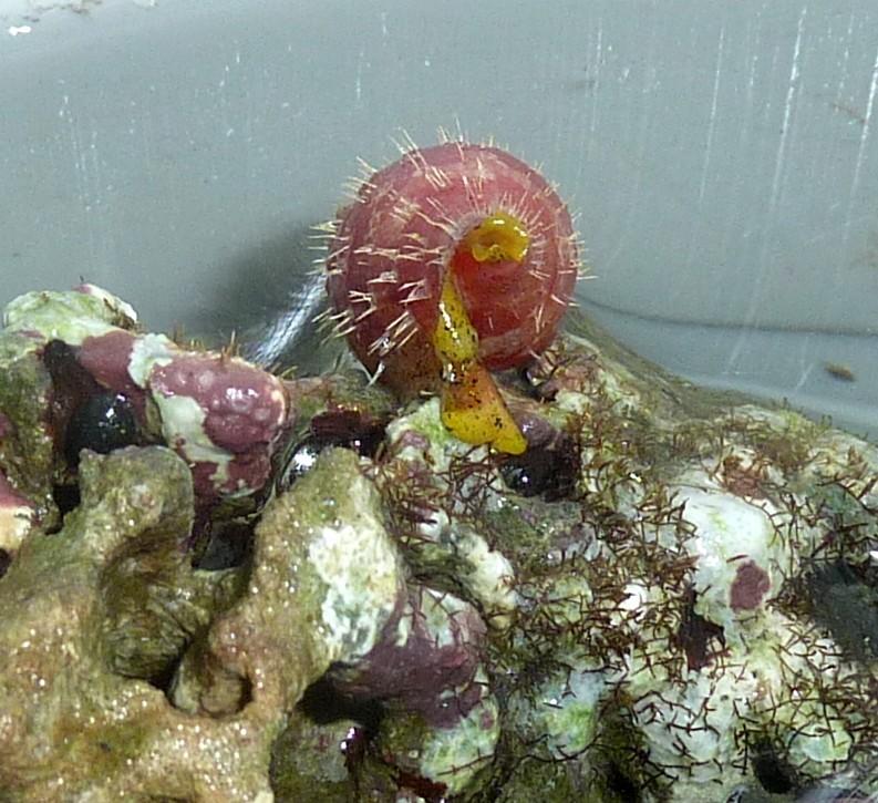 Conus (Rhizoconus) pertusus elodieallaryae  Cossignani, 2013 P1130810